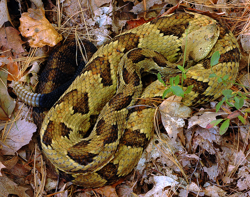 Timber Rattlesnakes in MA